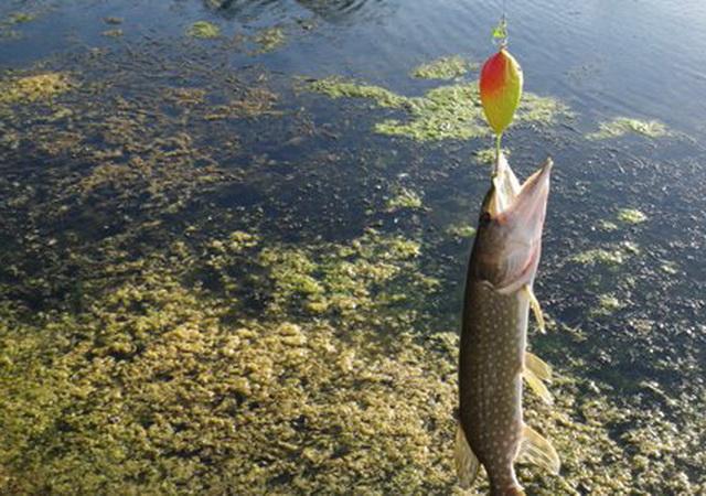 В таких водоемах хорватское яйцо - почти единственный вариант поймать щуку.