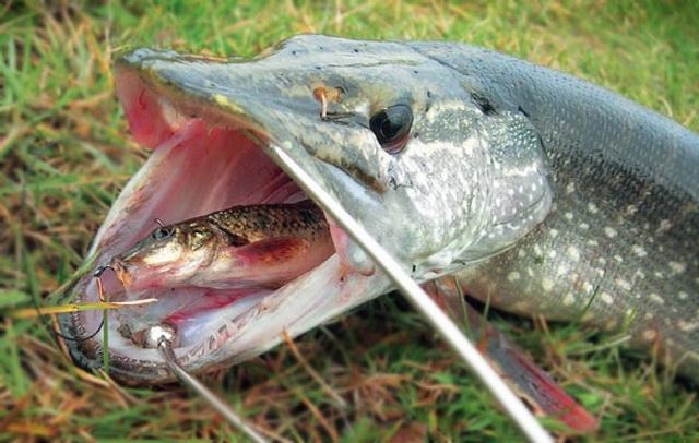 На водоемах с течением можно ловить щуку на поплавок, используя мертвую рыбку на снасточке.