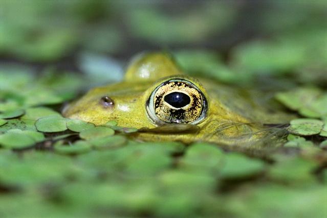 Имитируя лягушку, наши приманки должны двигаться точно так же, как это земноводное.