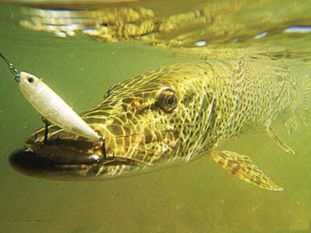 Как ловить щуку на спиннинг в сентябре с берега и с лодки