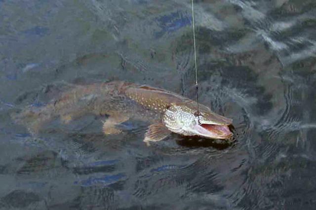 Выбрали правильную блесну - получили поклевку правильной рыбы.